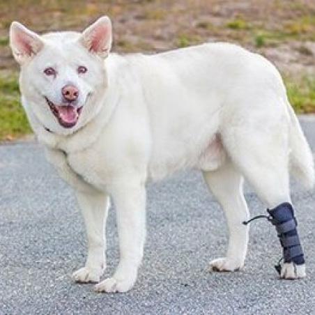 Dog in Rear No knuckling training sock