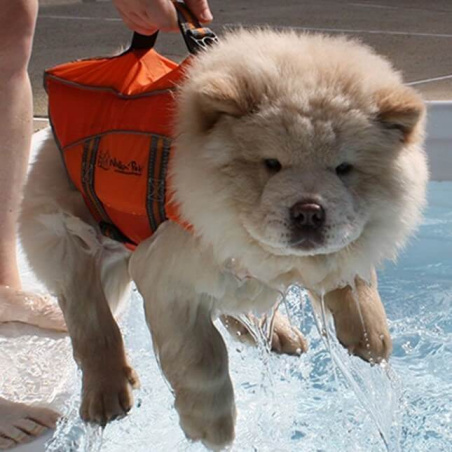 chow chow in swimmin vest